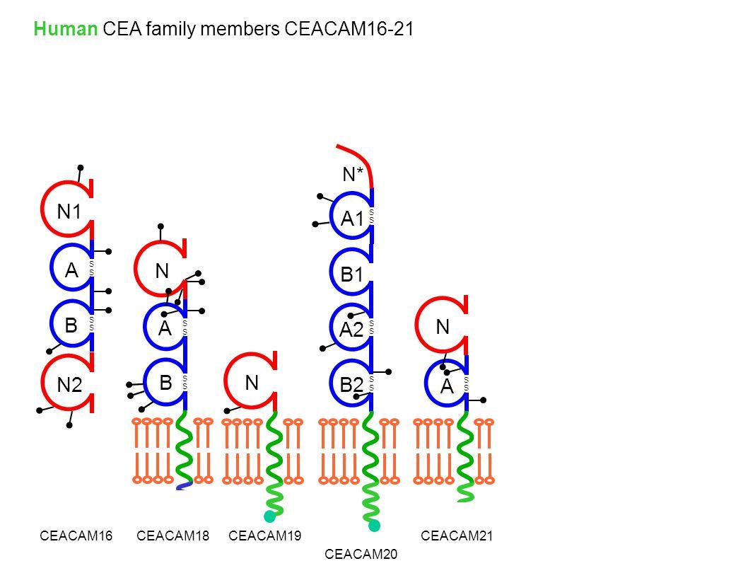 B S S S S A N1 N2 N CEACAM16CEACAM19 CEACAM20 CEACAM21 Human CEA family members CEACAM16-21 S S A N CEACAM18 B S S A S S N B2 A2 B1 S S S S S S A1 N*