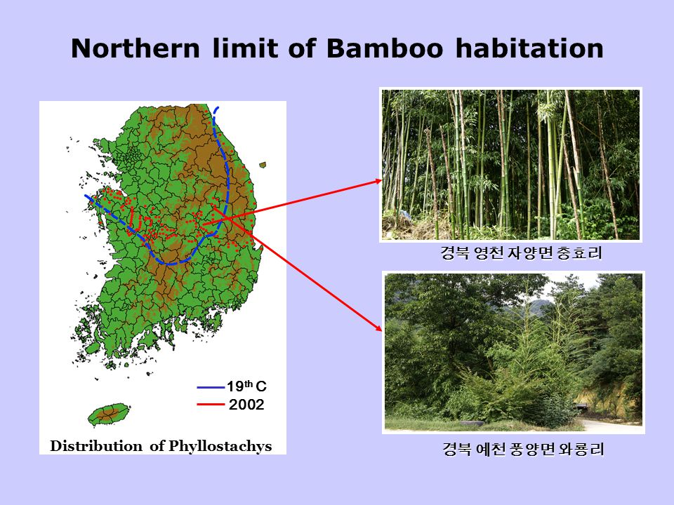 Northern limit of Bamboo habitation Check point 0 100km Distribution of Phyllostachys 19 th C 2002 경북 영천 자양면 충효리 경북 예천 풍양면 와룡리