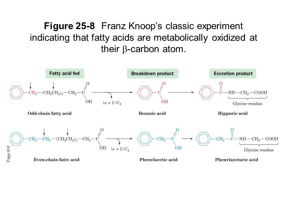 Figure 25-8Franz Knoop's classic experiment indicating that fatty acids are metabolically oxidized at their  -carbon atom.