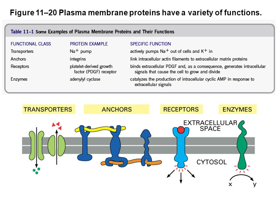 Figure 11–20 Plasma membrane proteins have a variety of functions.