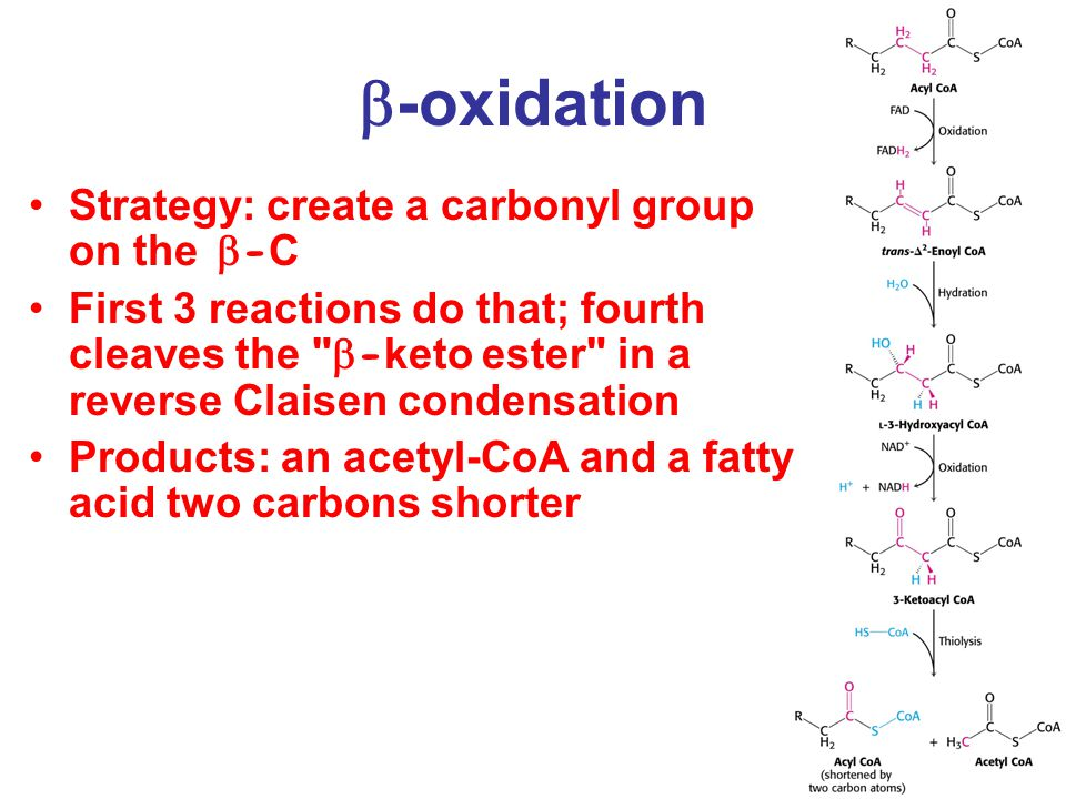  -oxidation Strategy: create a carbonyl group on the  - C First 3 reactions do that; fourth cleaves the  - keto ester in a reverse Claisen condensation Products: an acetyl-CoA and a fatty acid two carbons shorter