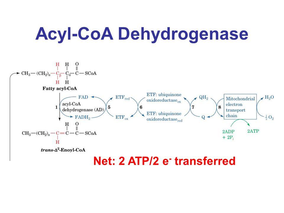 Acyl-CoA Dehydrogenase Net: 2 ATP/2 e - transferred