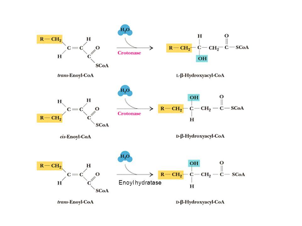 Enoyl hydratase