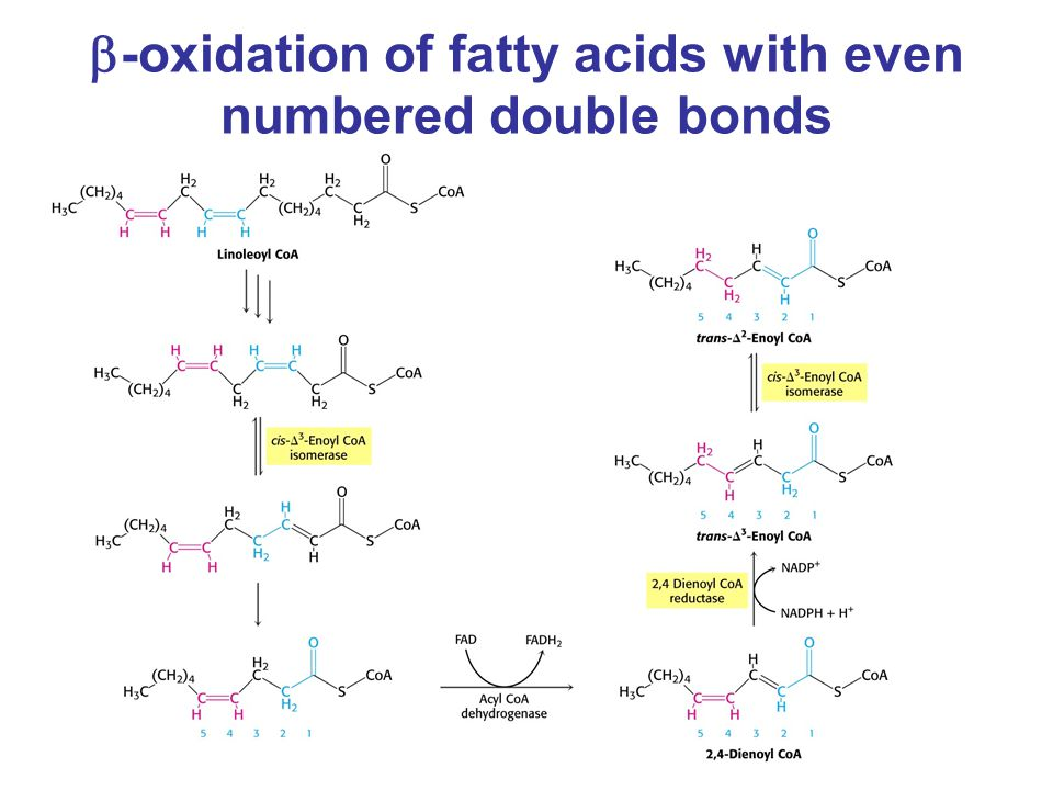  -oxidation of fatty acids with even numbered double bonds