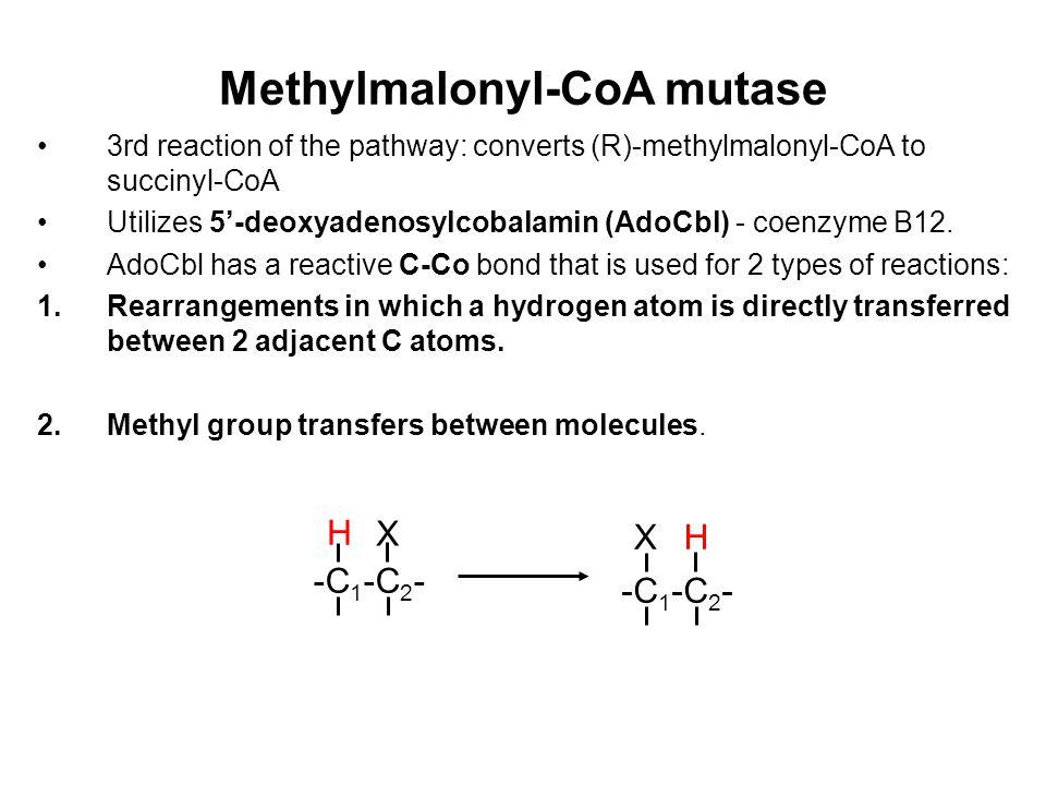 Methylmalonyl-CoA mutase 3rd reaction of the pathway: converts (R)-methylmalonyl-CoA to succinyl-CoA Utilizes 5'-deoxyadenosylcobalamin (AdoCbl) - coenzyme B12.