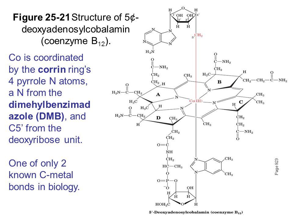 Page 923 Figure 25-21Structure of 5¢- deoxyadenosylcobalamin (coenzyme B 12 ).