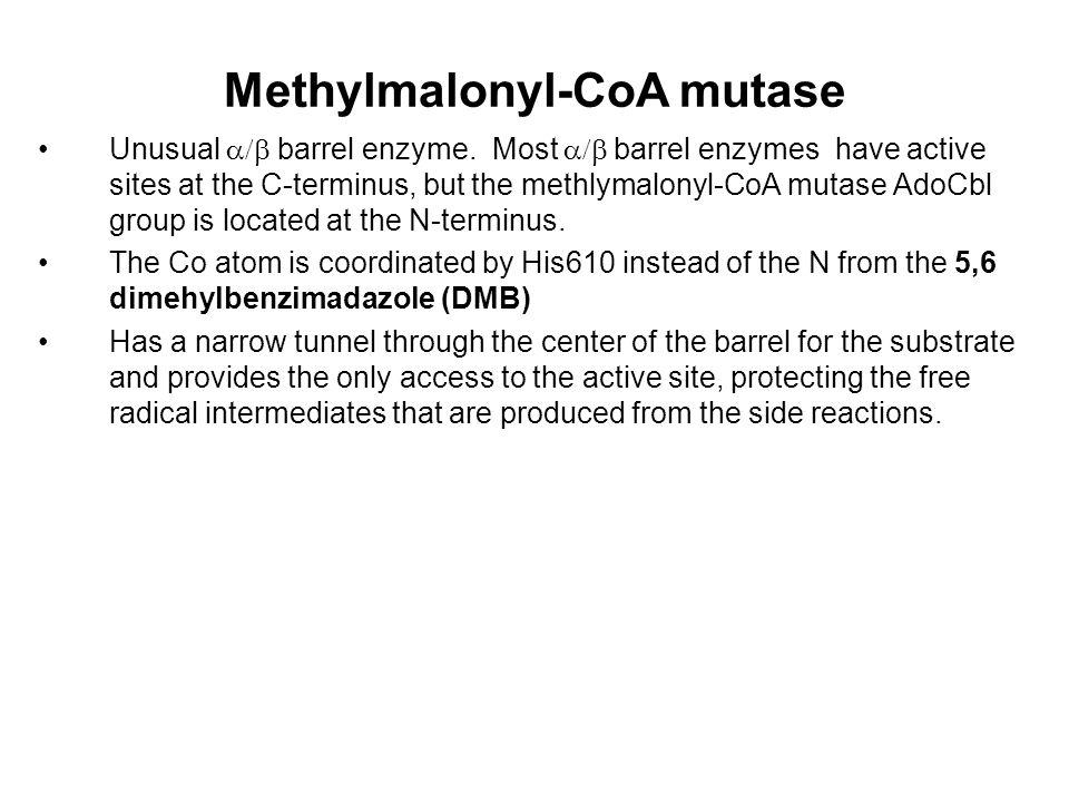 Methylmalonyl-CoA mutase Unusual  barrel enzyme.