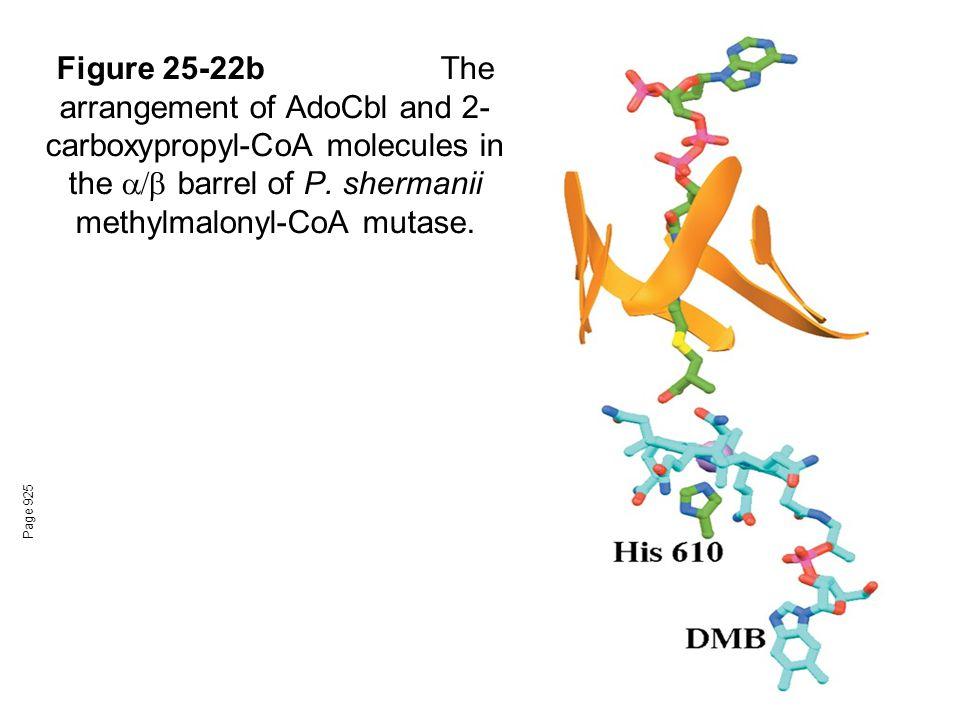 Figure 25-22bThe arrangement of AdoCbl and 2- carboxypropyl-CoA molecules in the  barrel of P.