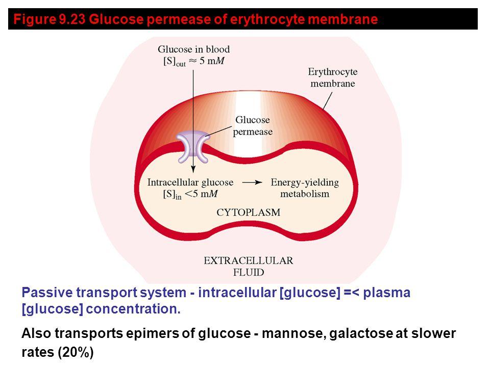 Figure 9.23 Glucose permease of erythrocyte membrane Passive transport system - intracellular [glucose] =< plasma [glucose] concentration.