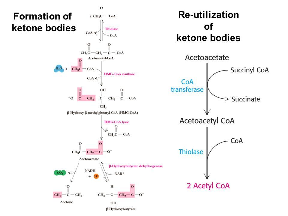 Formation of ketone bodies Re-utilization of ketone bodies