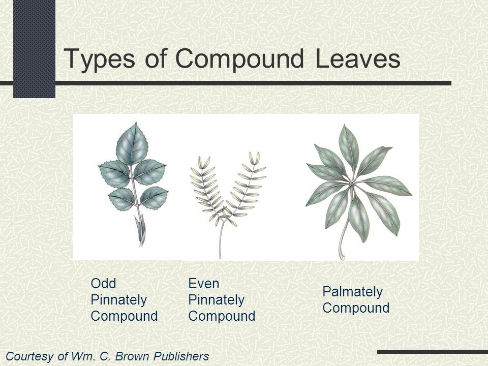 A leaf which has only one blade on its petiole is called a simple leaf Most plants have simple leaves When the blade is divided into three or more sections, it is said to be a compound leaf There are many different kinds Courtesy of Wm.
