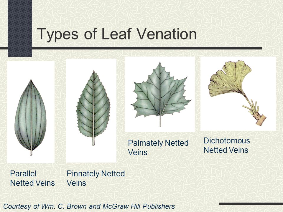 B. Netted veins – found in dicots They connect & branch from each other Some have several smaller veins branching out of a dominant midrib Known as pi