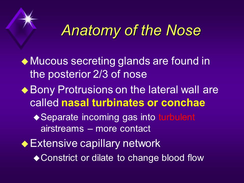 Anatomy of the Nose u Mucous secreting glands are found in the posterior 2/3 of nose u Bony Protrusions on the lateral wall are called nasal turbinate