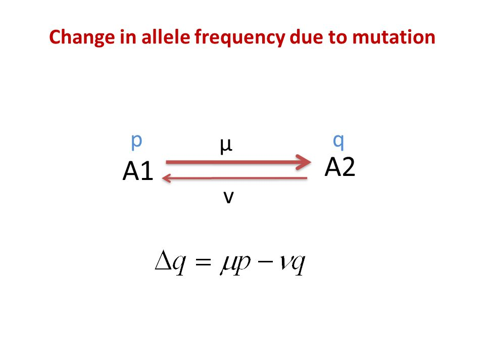 Change in allele frequency due to mutation A1 A2 μ v pq