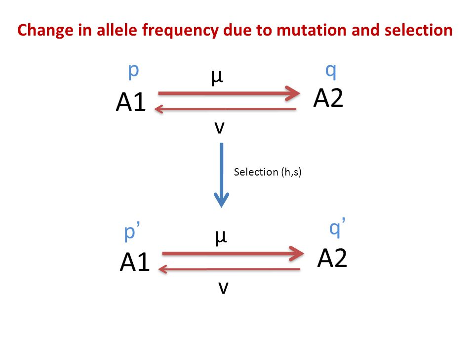 Change in allele frequency due to mutation and selection A1 A2 μ v Selection (h,s) A1 A2 μ v pq p'p' q'q'