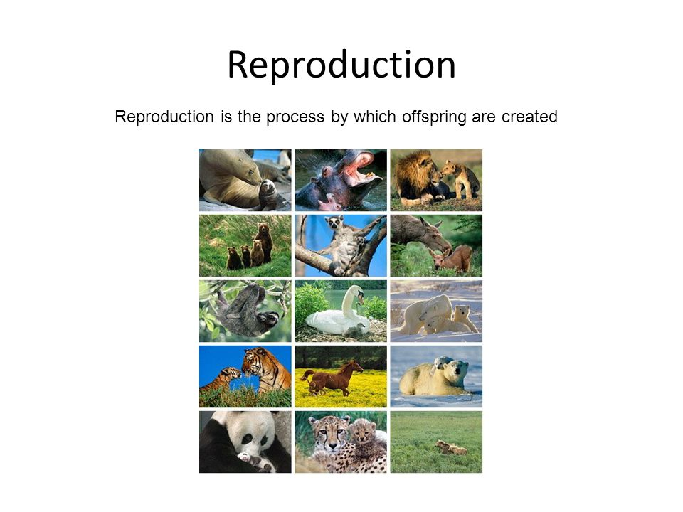 Reproduction Reproduction is the process by which offspring are created