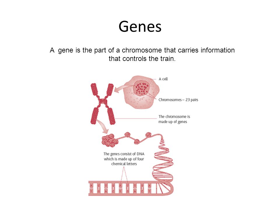 Genes A gene is the part of a chromosome that carries information that controls the train.