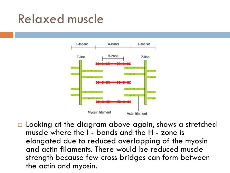Partially contracted muscle  The diagram above shows a partially contracted muscle where there is more overlapping of the myosin and actin with lots of potential for cross bridges to form.
