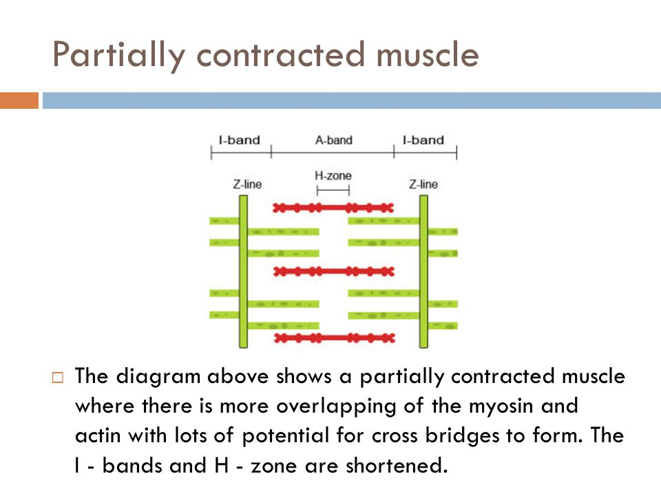 Contracted muscle  The diagram above shows a fully contracted muscle with lots of overlap between the actin and myosin.