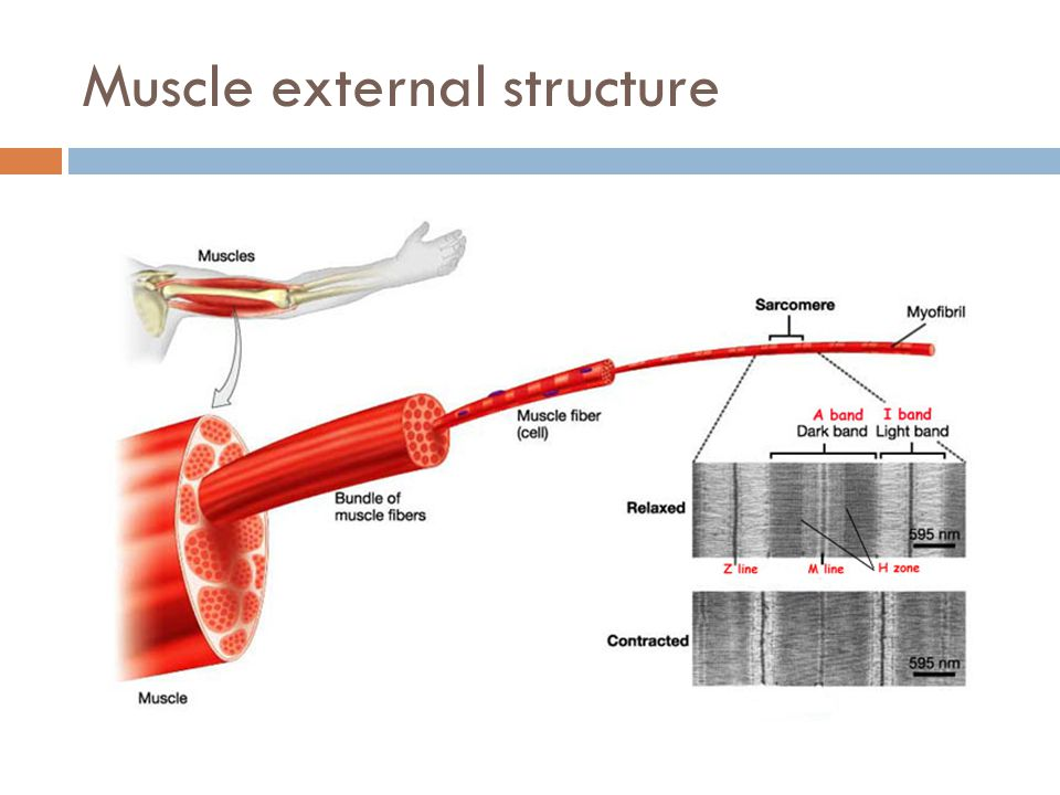 Muscle external structure