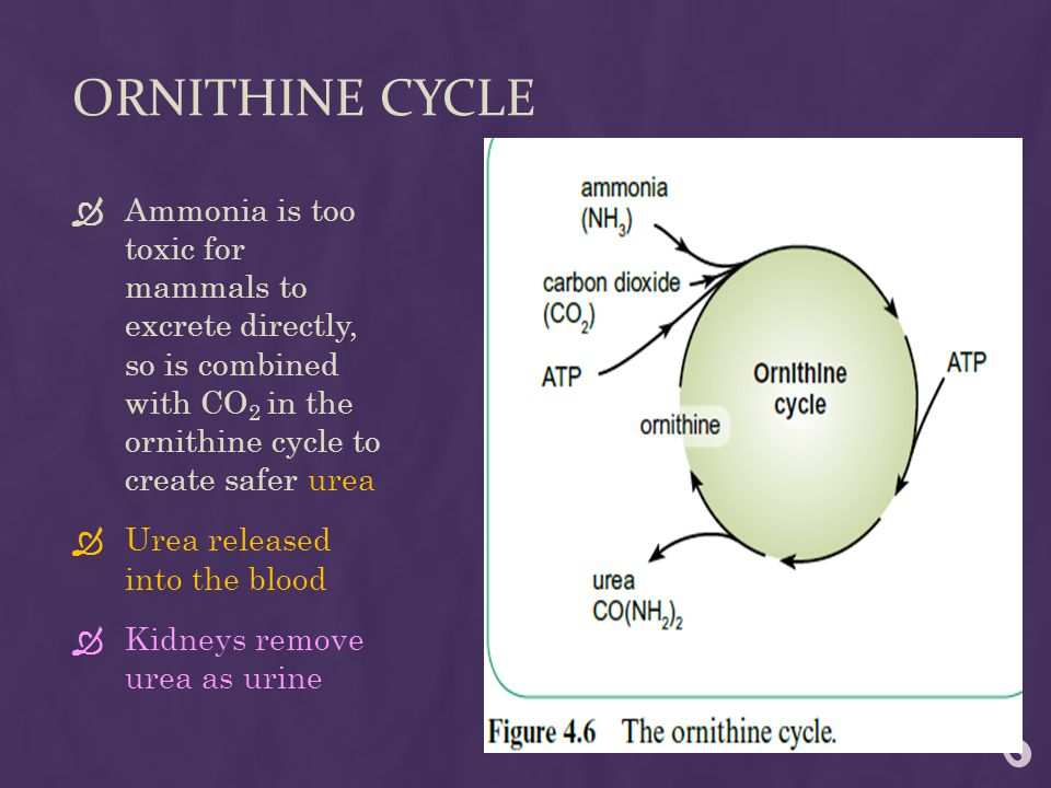 ORNITHINE CYCLE  Ammonia is too toxic for mammals to excrete directly, so is combined with CO 2 in the ornithine cycle to create safer urea  Urea released into the blood  Kidneys remove urea as urine
