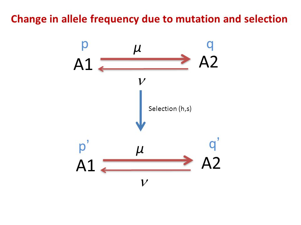 Change in allele frequency due to mutation and selection Case 1: When ν ≈ 0; population size is large and h=0 (A1 completely dominant to A2): Case 2: When ν ≈ 0; population size is large and h>>0 :