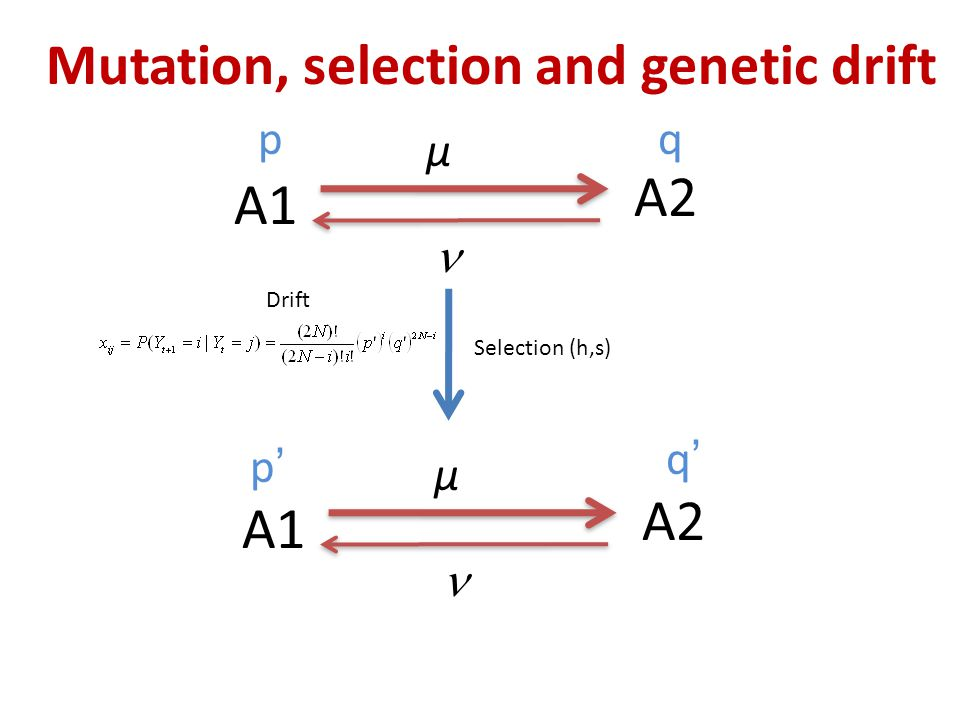 Mutation, selection and genetic drift A1 A2 μ Selection (h,s) A1 A2 μ pq p'p' q'q' Drift