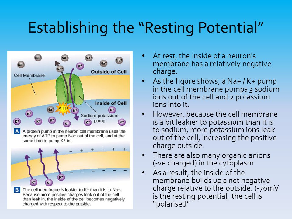 "Establishing the ""Resting Potential"" At rest, the inside of a neuron's membrane has a relatively negative charge. As the figure shows, a Na+ / K+ pump"