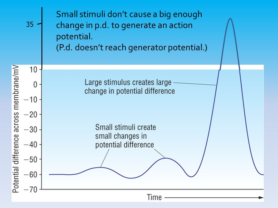 35 Small stimuli don't cause a big enough change in p.d. to generate an action potential. (P.d. doesn't reach generator potential.)