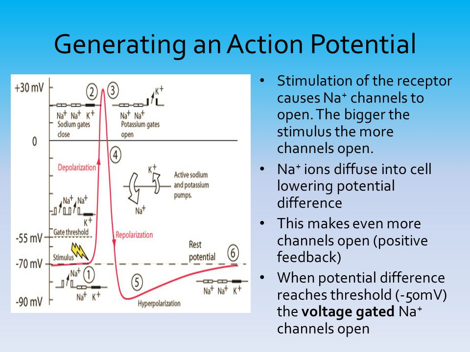 Generating an Action Potential Stimulation of the receptor causes Na + channels to open. The bigger the stimulus the more channels open. Na + ions dif