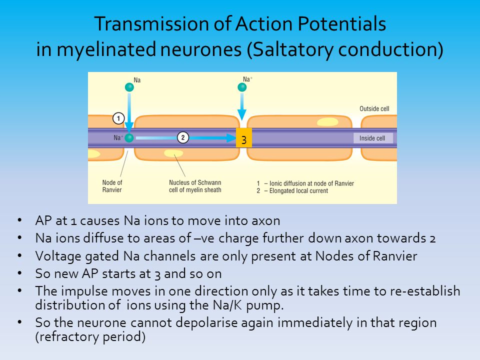 Transmission of Action Potentials in myelinated neurones (Saltatory conduction) AP at 1 causes Na ions to move into axon Na ions diffuse to areas of –