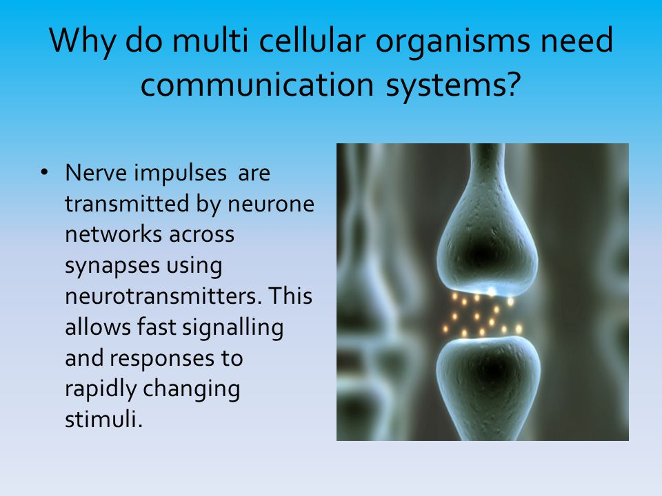 Why do multi cellular organisms need communication systems? Nerve impulses are transmitted by neurone networks across synapses using neurotransmitters