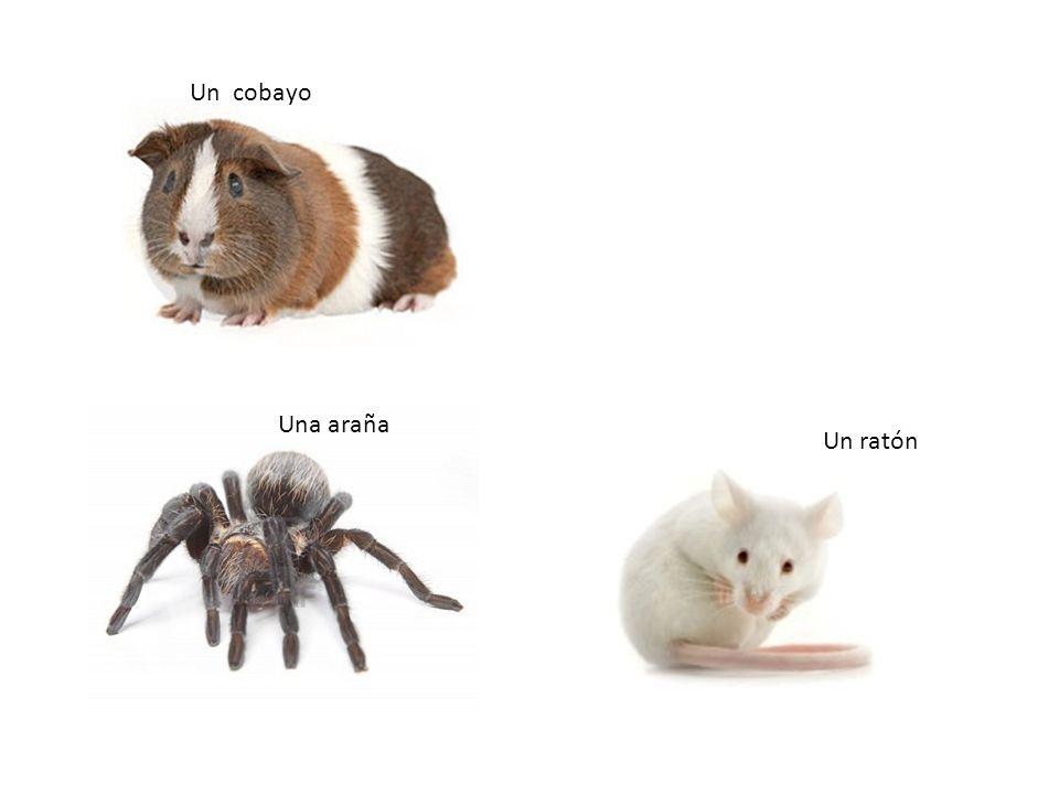 Un cobayo Una araña Un ratón