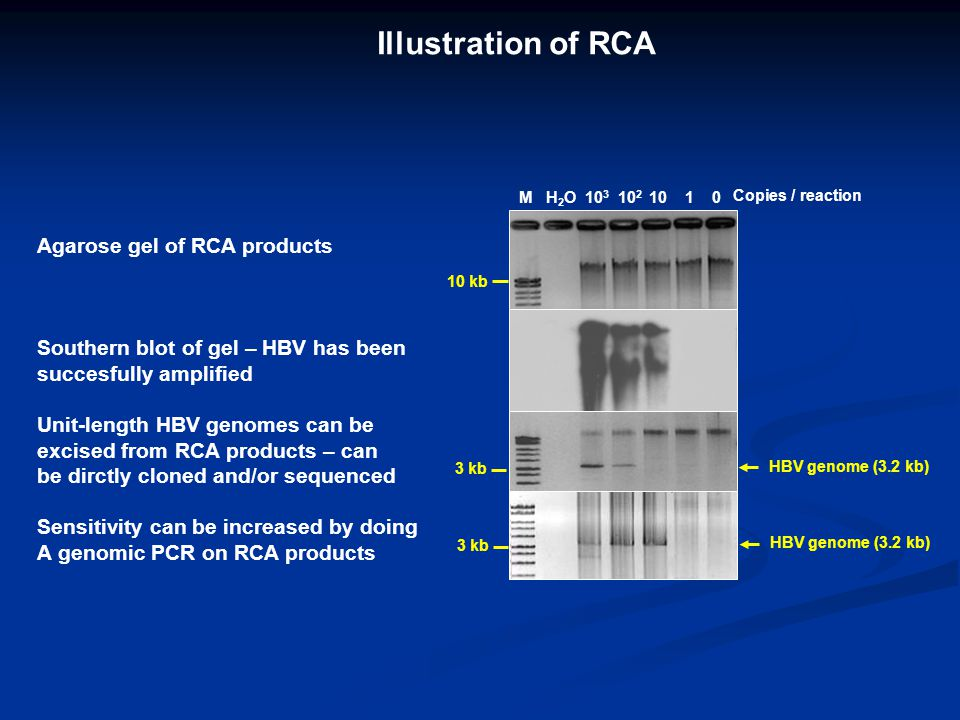 Illustration of RCA 3 kb M H 2 O 10 3 10 2 10 1 0 Copies / reaction 10 kb 3 kb HBV genome (3.2 kb) Agarose gel of RCA products Southern blot of gel –