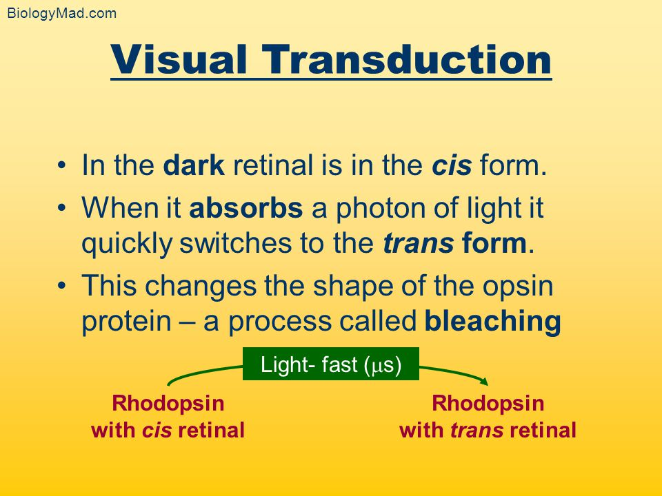 The reverse reaction (trans to cis) requires an enzyme reaction and is very slow (taking a few minutes) This process requires ATP, as rhodopsin has to be resynthesised Visual Transduction Rhodopsin with cis retinal Rhodopsin with trans retinal Light- fast (  s) Dark - slow (mins) BiologyMad.com