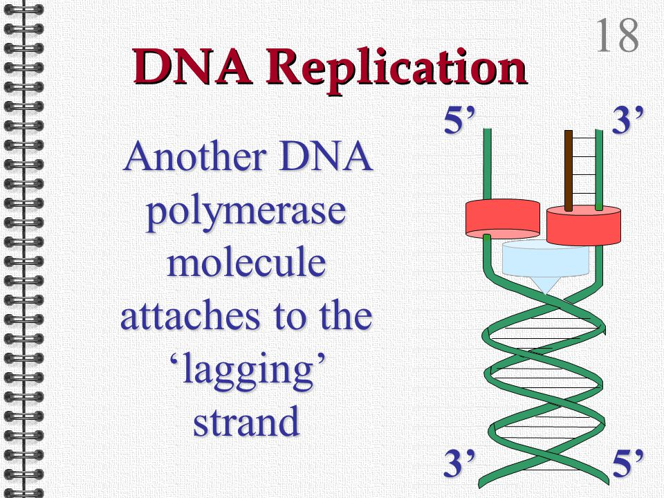 17 DNA Replication DNA polymerase synthesises a new DNA strand in the 3' to 5' direction 5'3' 3'5'