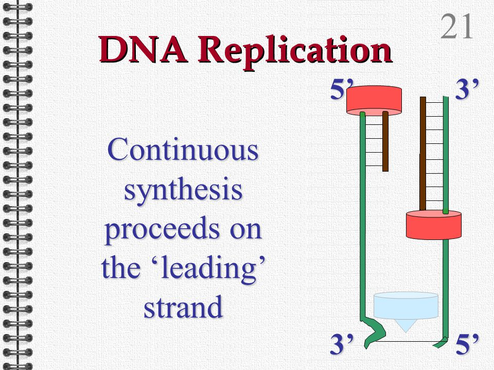 20 DNA Replication Helicase continues to unwind the DNA double helix5'3'3'5'