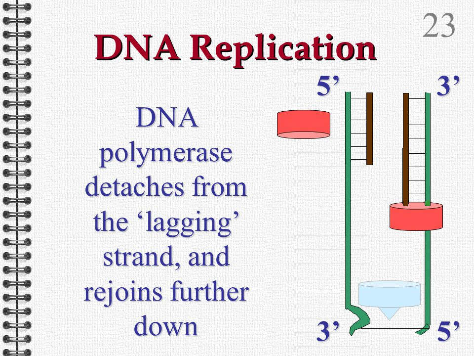 225'3'3'5' DNA Replication DNA polymerase detaches from the 'lagging' strand, and rejoins further down