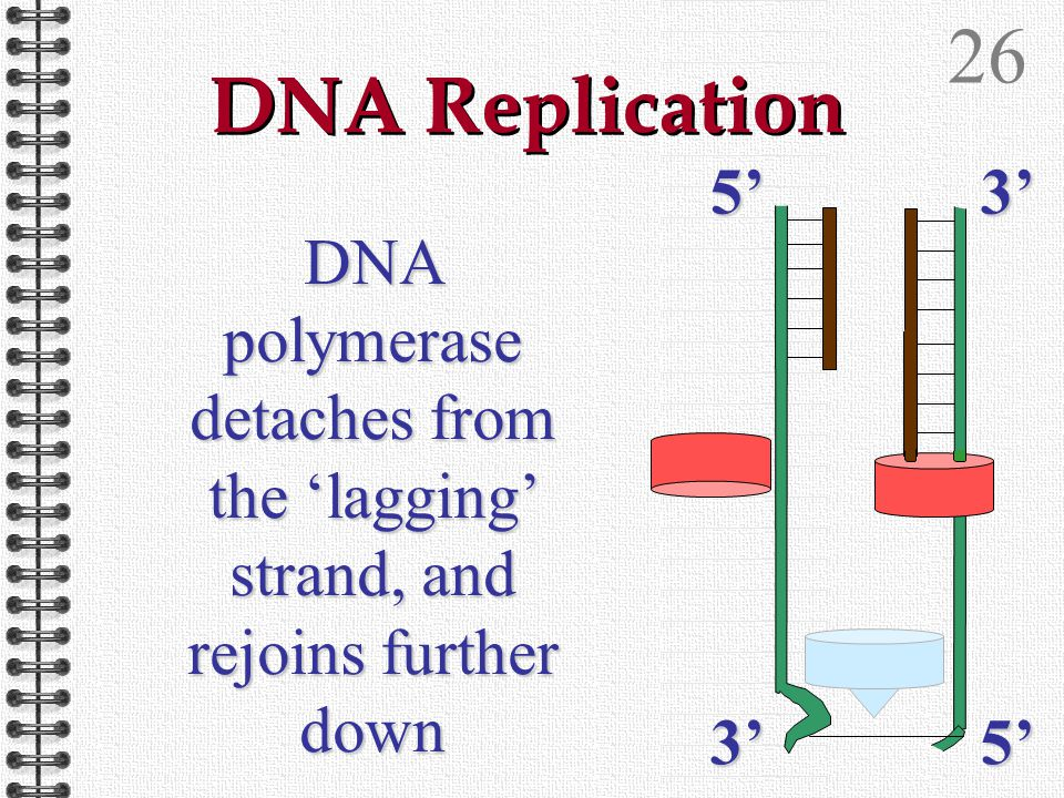 25 DNA Replication DNA polymerase detaches from the 'lagging' strand, and rejoins further down 5'3' 3'5'