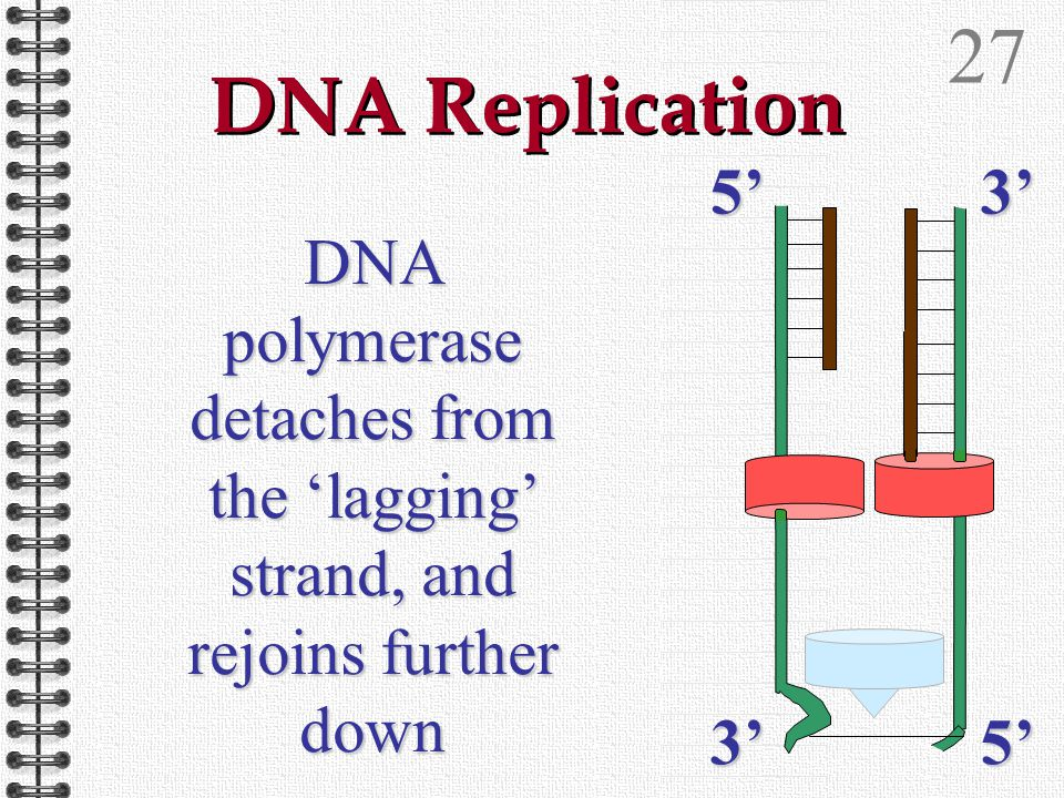 26 DNA Replication DNA polymerase detaches from the 'lagging' strand, and rejoins further down 5'3' 3'5'
