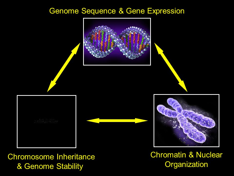 Genome Sequence & Gene Expression Chromatin & Nuclear Organization Chromosome Inheritance & Genome Stability