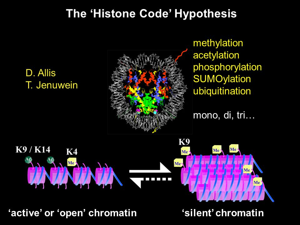 'active' or 'open' chromatin'silent' chromatin methylation acetylation phosphorylation SUMOylation ubiquitination mono, di, tri… The 'Histone Code' Hypothesis D.