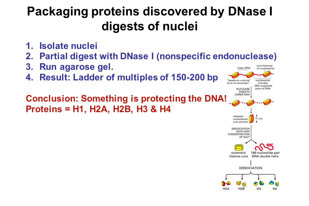 Packaging proteins discovered by DNase I digests of nuclei 1.Isolate nuclei 2.Partial digest with DNase I (nonspecific endonuclease) 3.Run agarose gel.