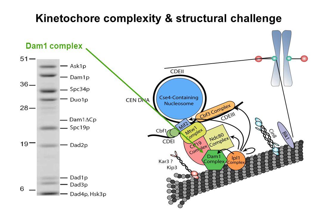 Kinetochore complexity & structural challenge Dam1 complex
