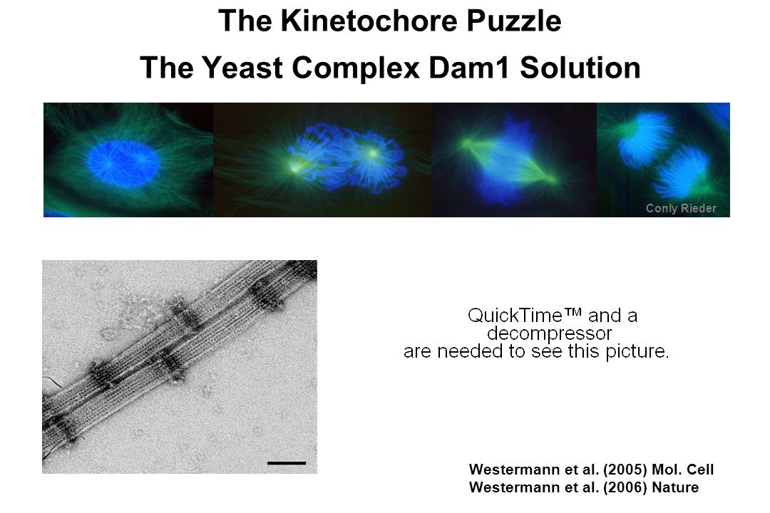 Dam1: Mechanism and structure Model: Dam1 rings slide along shrinking microtubules!