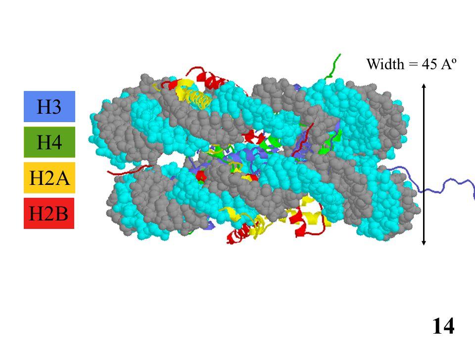 免疫学信息网 http://www.immuneweb.com H4 H2B H2A H3 Width = 45 Aº 14