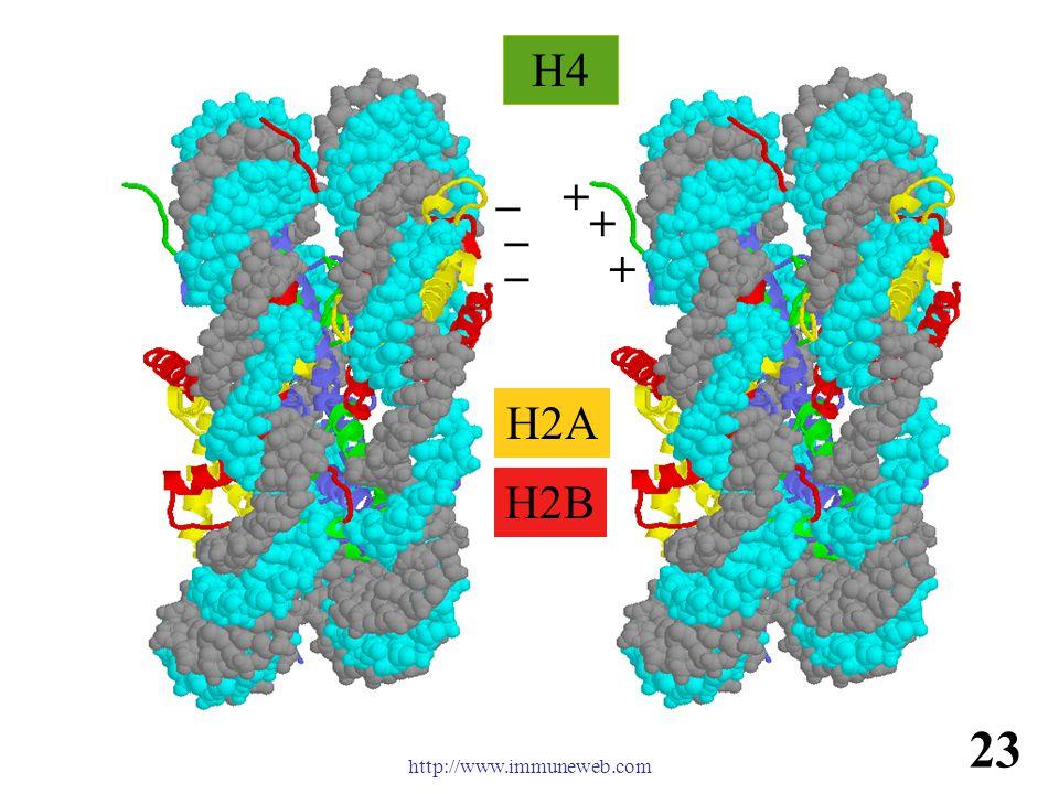 免疫学信息网 http://www.immuneweb.com H4 H2B H2A + + + _ _ _ 23