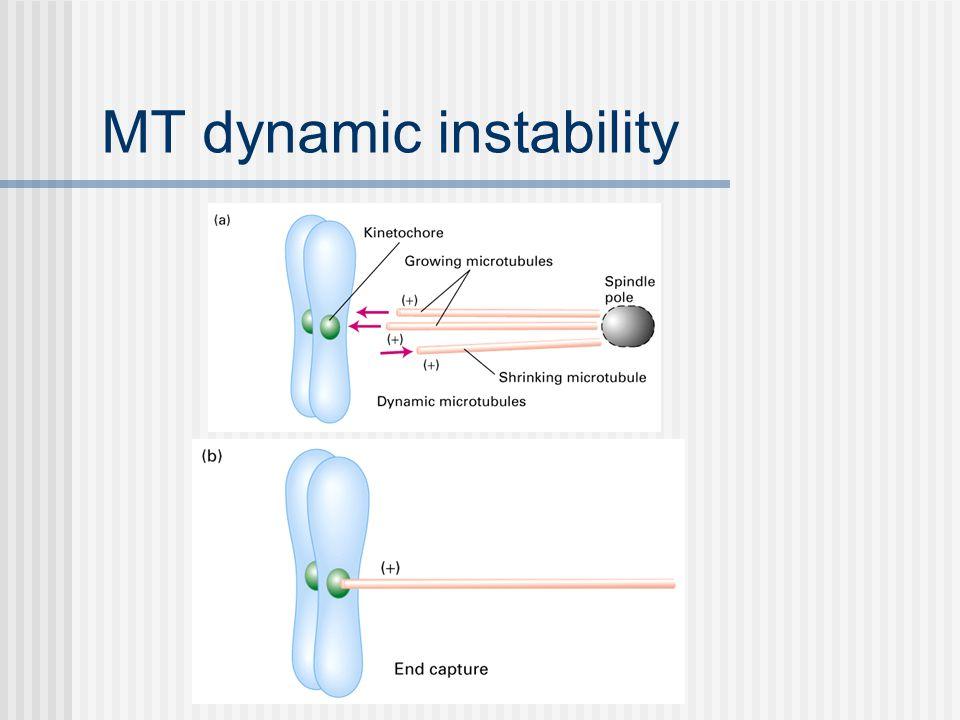 MT dynamic instability