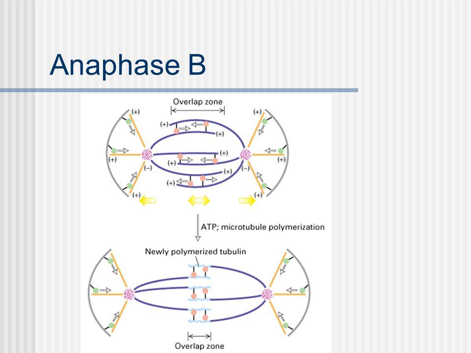 Anaphase B