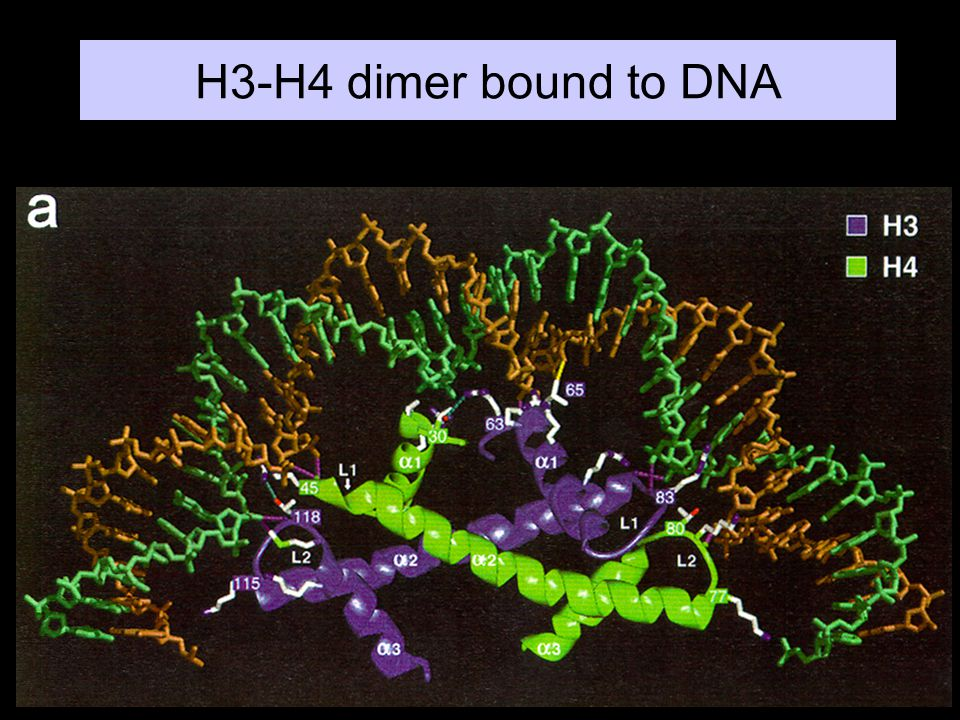 H3-H4 dimer bound to DNA